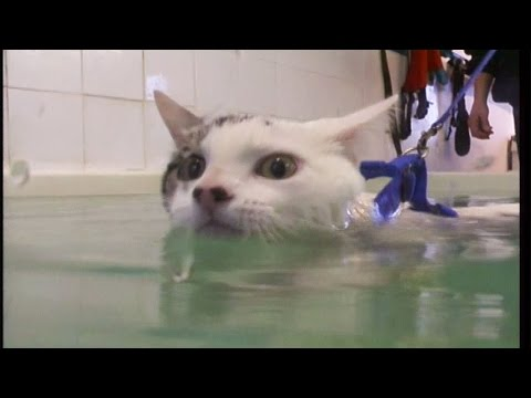Cat goes swimming for physiotherapy to cure weak legs