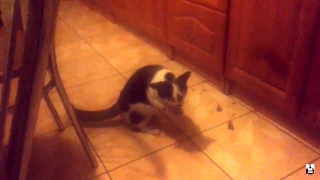"""Śmieszny kot """"mówi"""" MNIAM, MNIAM, MNIAM ;) [śmieszne koty, śmieszne zwierzęta]"""