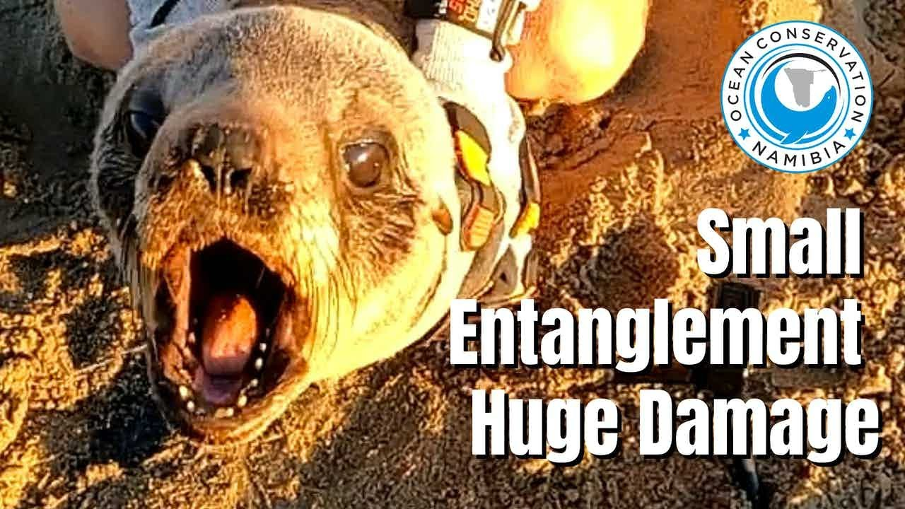 Seal Rescue: Small Entanglement, Huge Damage