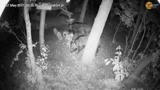 Dwie lochy z warchlakami w karmisku w lesie na Podkarpaciu - część 1
