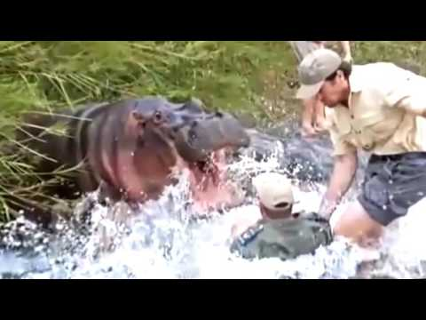 Awful attack hippos on people  Attack of a hippopotamus! Selection!