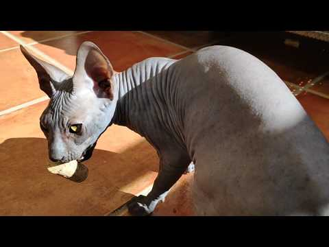 Sphynx kitten is cheerfully playing with a wine cork / DonSphynx /