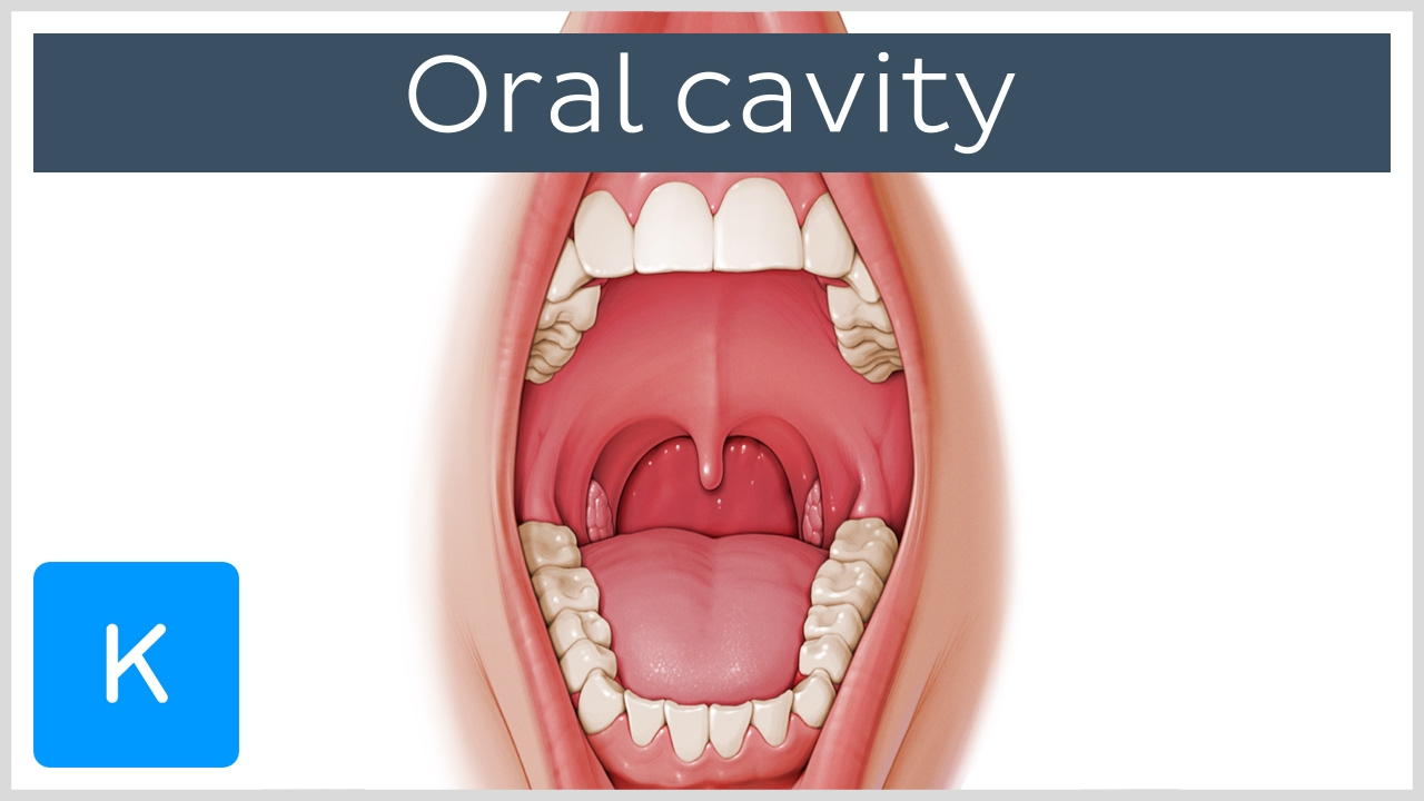 Overview Of The Oral Cavity Preview Human Anatomy Kenhub Youtube