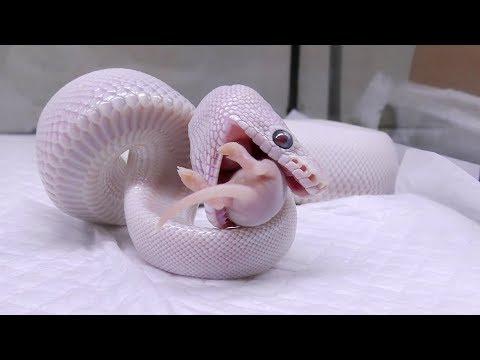 飼ってるヘビ達にネズミを与えていく!