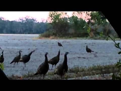 Hilarious Turkey Hunting Video Turkeys Attack!!!