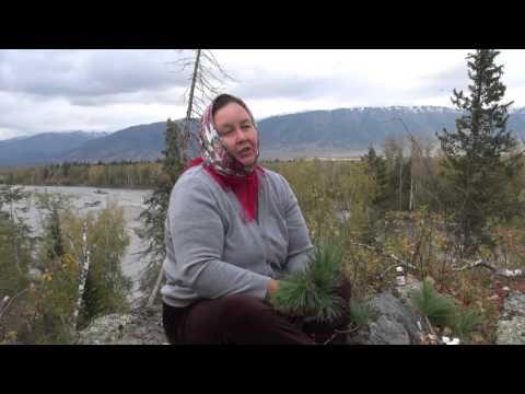 Кедр – полезные свойства и применение кедра, смола и