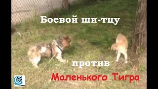 Матвей и Маленький Тигр. Хроника одной схватки
