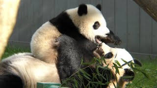 Xiao Qi Ji: Mama look at me! I eats my boo! I sits in rolly rocker! Now play with me!