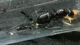 Camponotus Micans(?) dando alimento a sus nurses