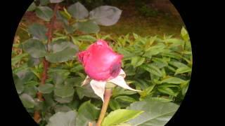 Nikiforos Vrettakos: The Rose ~ Νικηφόρος Βρεττάκος: Το Τριαντάφυλλο
