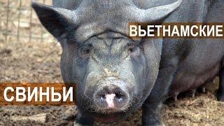Поросята, свиноматки и хряки вьетнамской породы в хозяйстве Натальиной-Степанова
