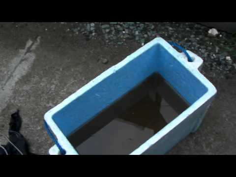 CDO Aquaponics: Day43, Tilapia, Lake Gumaod, Claveria, Misam