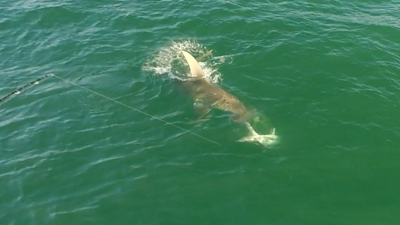 Hammerhead Shark Eats Huge Tarpon Anna Maria Island Youtube