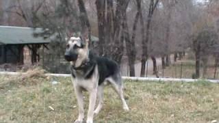 MAX (дрессировка) - Восточно европейская овчарка