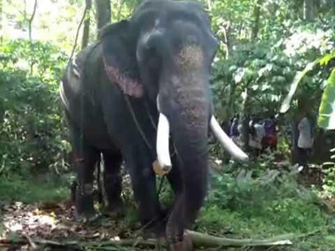 THRIKKADAVOOR SIVARAJU / star elephant