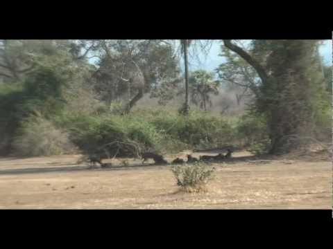 Wild Dogs with Breakfast - Mana Pools, Zimbabwe