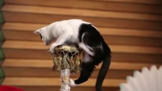 С добрым утром, малыши! - Гостевая - Народный артист России Юрий Куклачев и его дрессированные кошки
