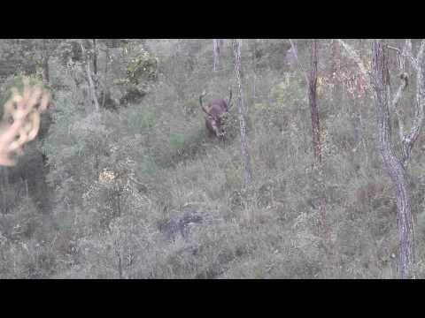 Red Deer Stag, South East Queensland