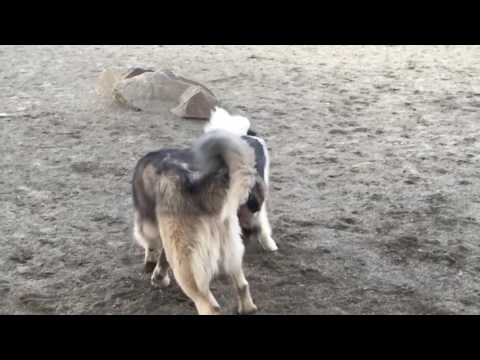 Mishka the Caucasian Shepherd Pup playing with his American Akita 'girlfriend'