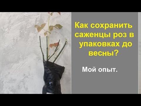 Как сохранить купленные саженцы роз до весны, если они  уже с большими побегами.
