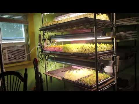 microgreens in August