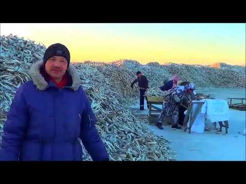 Сахалин Поронайский рыбакколхоз Дружба наважья путина 2014 года Ловля наваги на реке Поронай