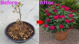How to Save Drying Rose Plant || Grow English Rose Cuttings || Grow Grafted Rose Cuttings