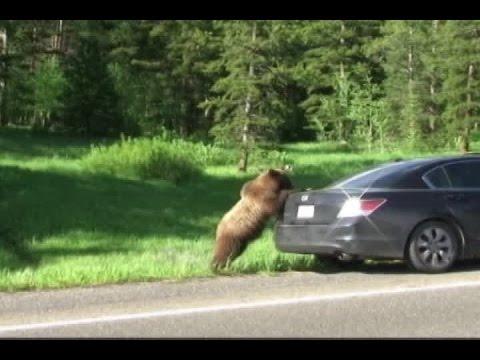Family has close encounter with Yellowstone bear