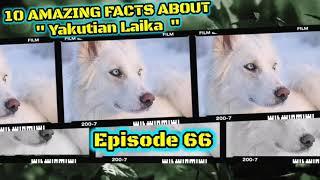 Top 10 amazing facts about Yakutian Laika.