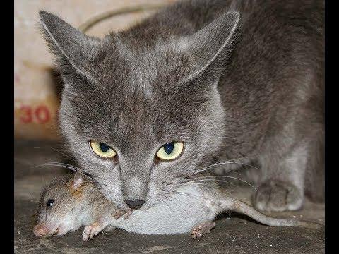 Окрас кошки ( кота ) влияет на её умение ловить мышей ?