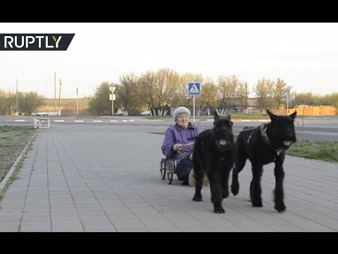 79yo dog-charioteer drives around pulled by two Giant Schnauzers