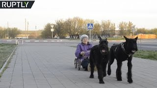 79yo dogcharioteer drives around pulled by two Giant Schnauzers