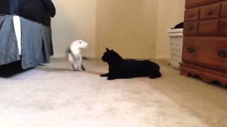 Cat Ferret play fighting