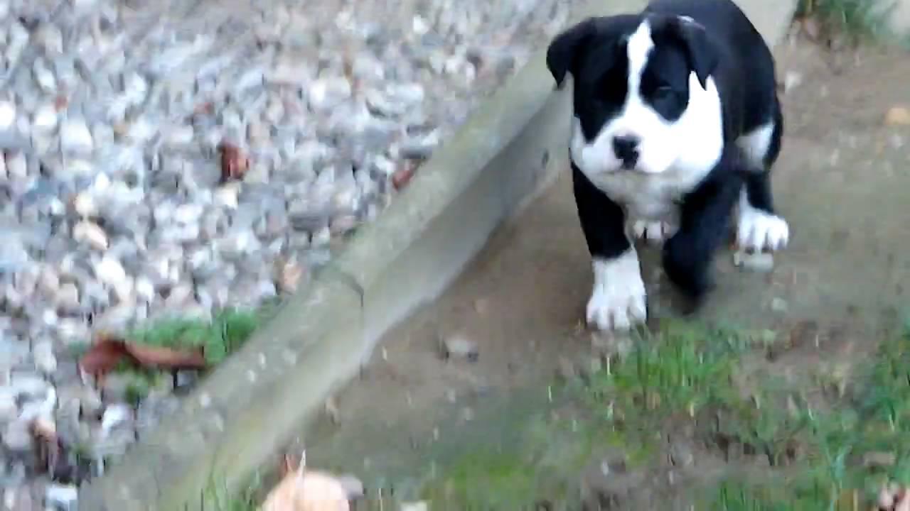 Rocky (Cane Corso/Dogo Argentino) 8 Wochen alt - YouTube