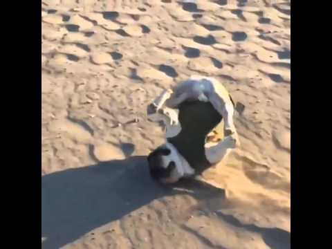 bulldog running on the sand and fall in slow motion
