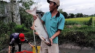 Tác Ao Cá Cha Vợ Thu Hoạch Được Nhiều Cá Khủng.minh bây rắn#112
