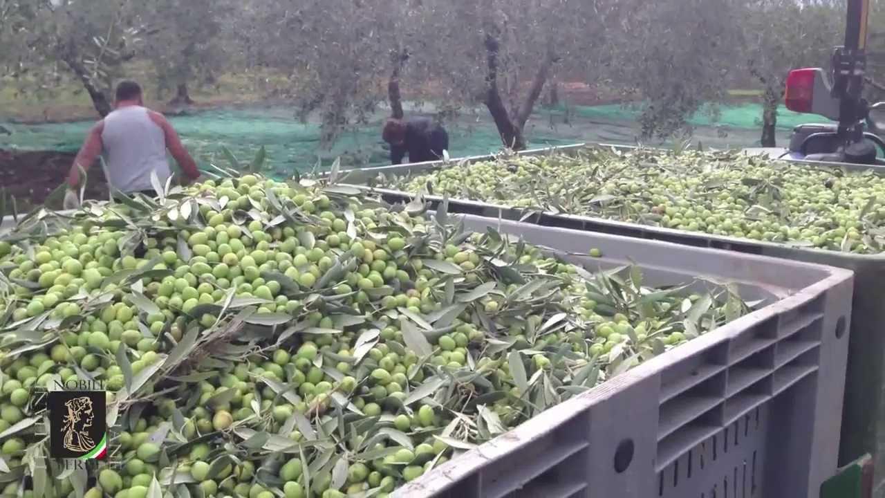 La raccolta delle olive 2013 | Doovi