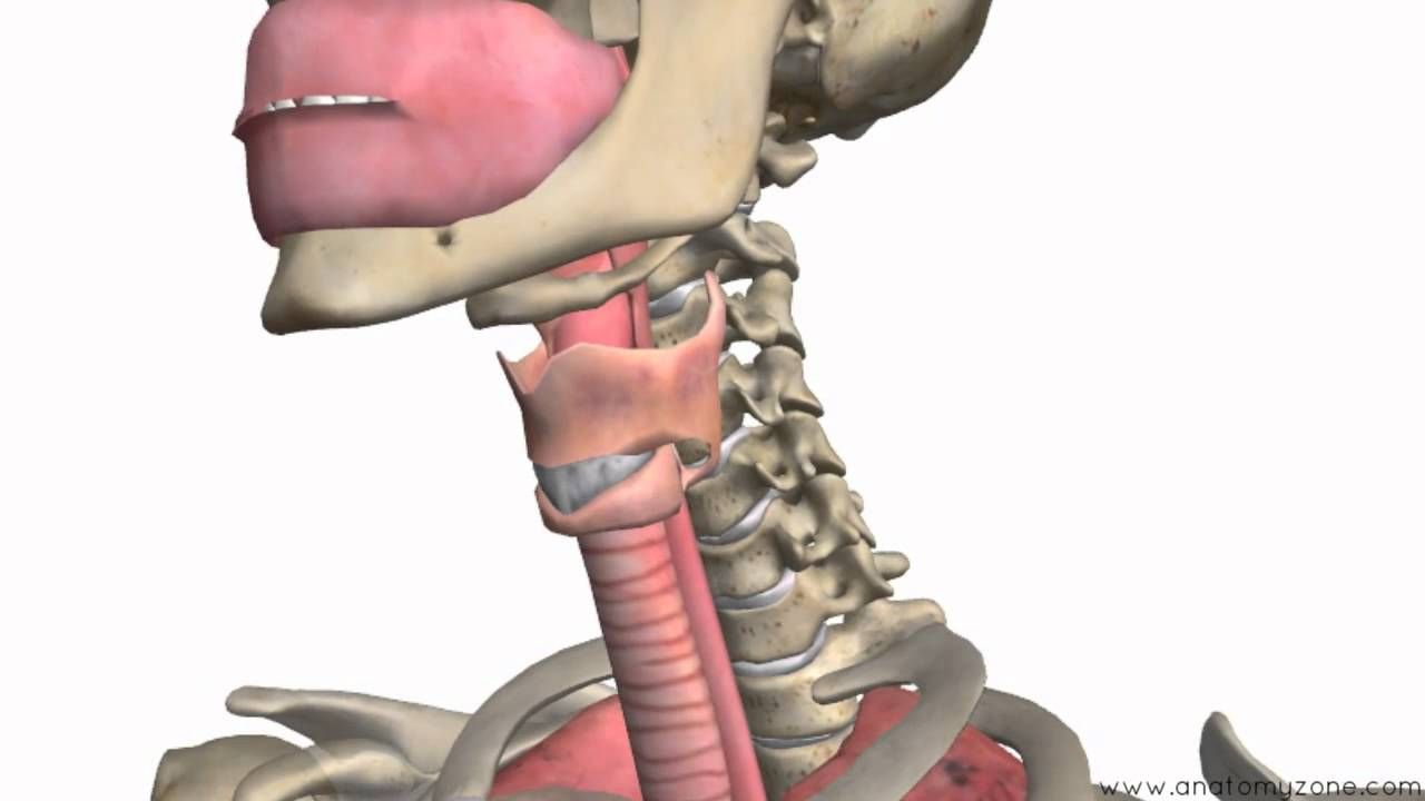 Respiratory System Introduction Part 1 Nose To Bronchi 3d