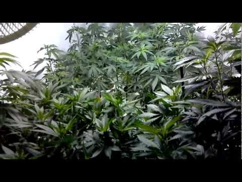 CALI CONNECTION & TGA SUBCOOL GROW - Part 4, Last day of Veg.
