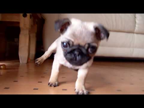 pug puppy (chase meeee)