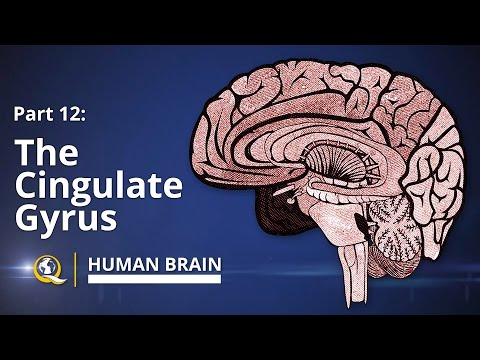 Cingulate Gyrus - Human Brain Series - Part 12