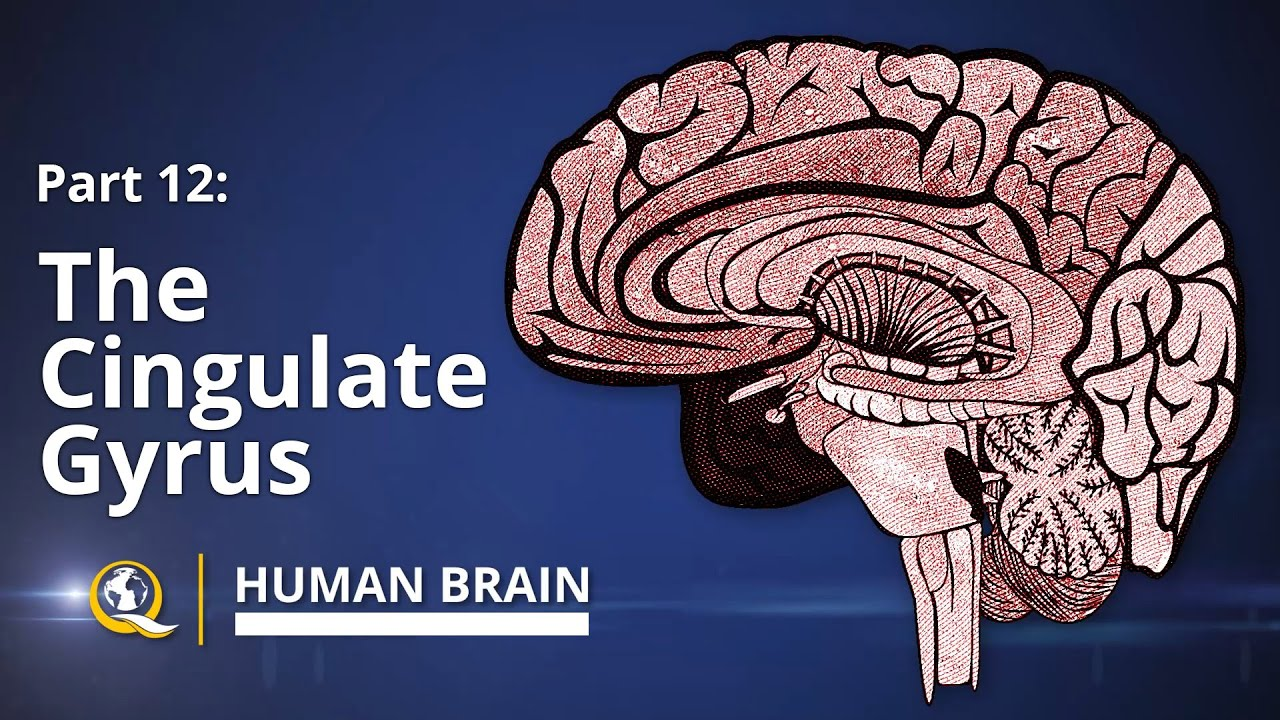 cingulate gyrus - human brain series - part 12 - youtube, Cephalic Vein