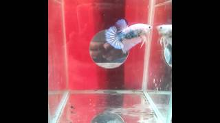 ikan cupang giant(ali putra betta borneo)