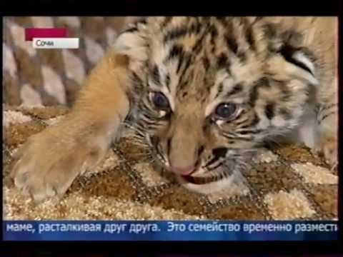 Собака выкормила тигрят.