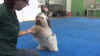 Pepper, The Havanese,  Dog Trick Training, Miami Florida