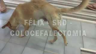 Felix - Colocefalectomia - VetFisio - Dra. Renata Petrelli