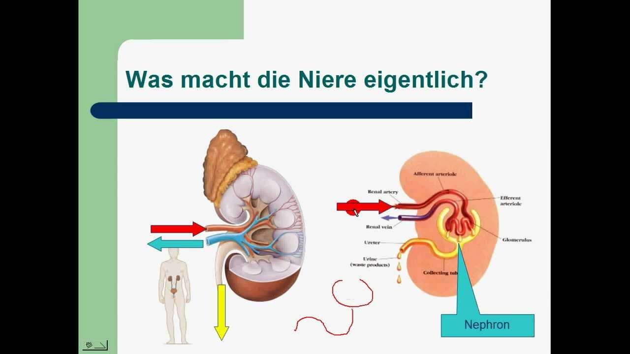 Niere und Harnsystem 1/3 - YouTube