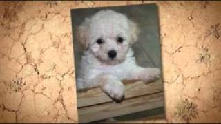 Cute Maltipoo Maltese Poodle Mix Puppies
