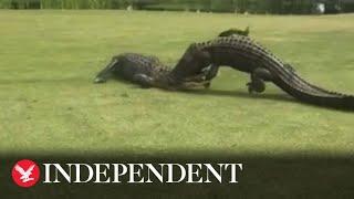 Large alligators fight on golf course