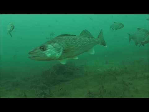 (Underwater)view-Ice fishing Walleye&Steelhead non-stop action